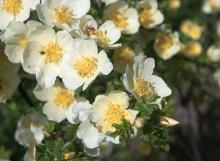 Rosa primula