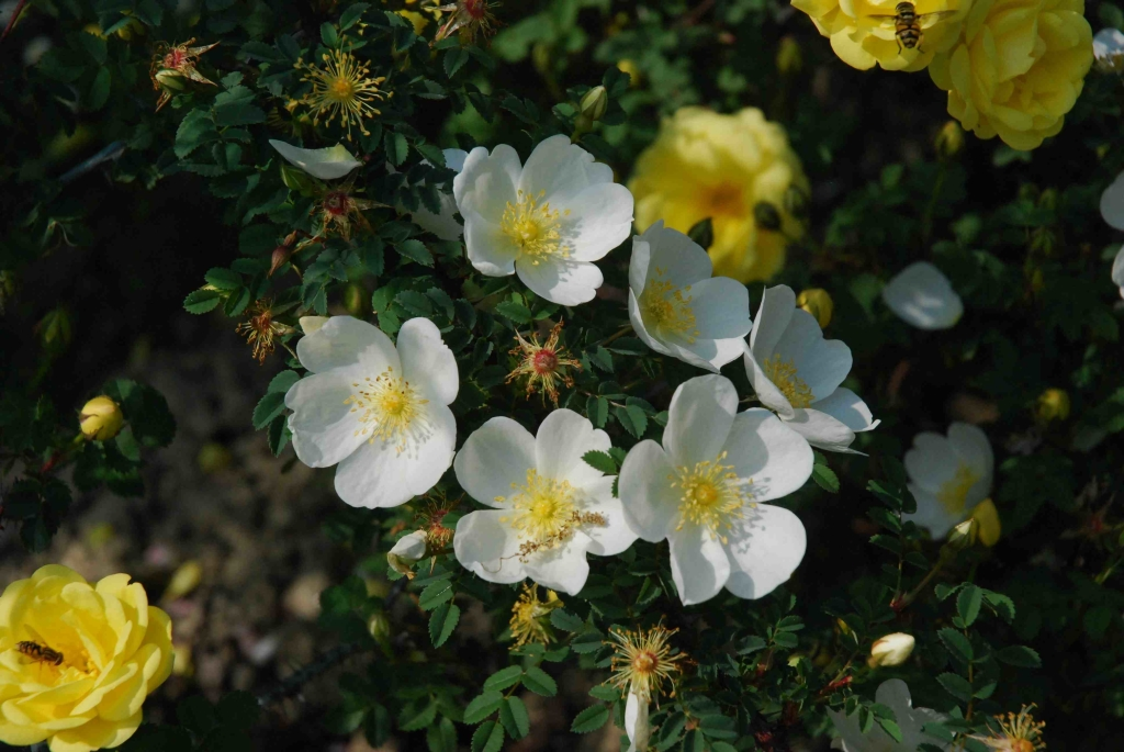 Dunwich Rose