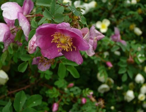 Di rose e di viole, di libellule…e pidocchi