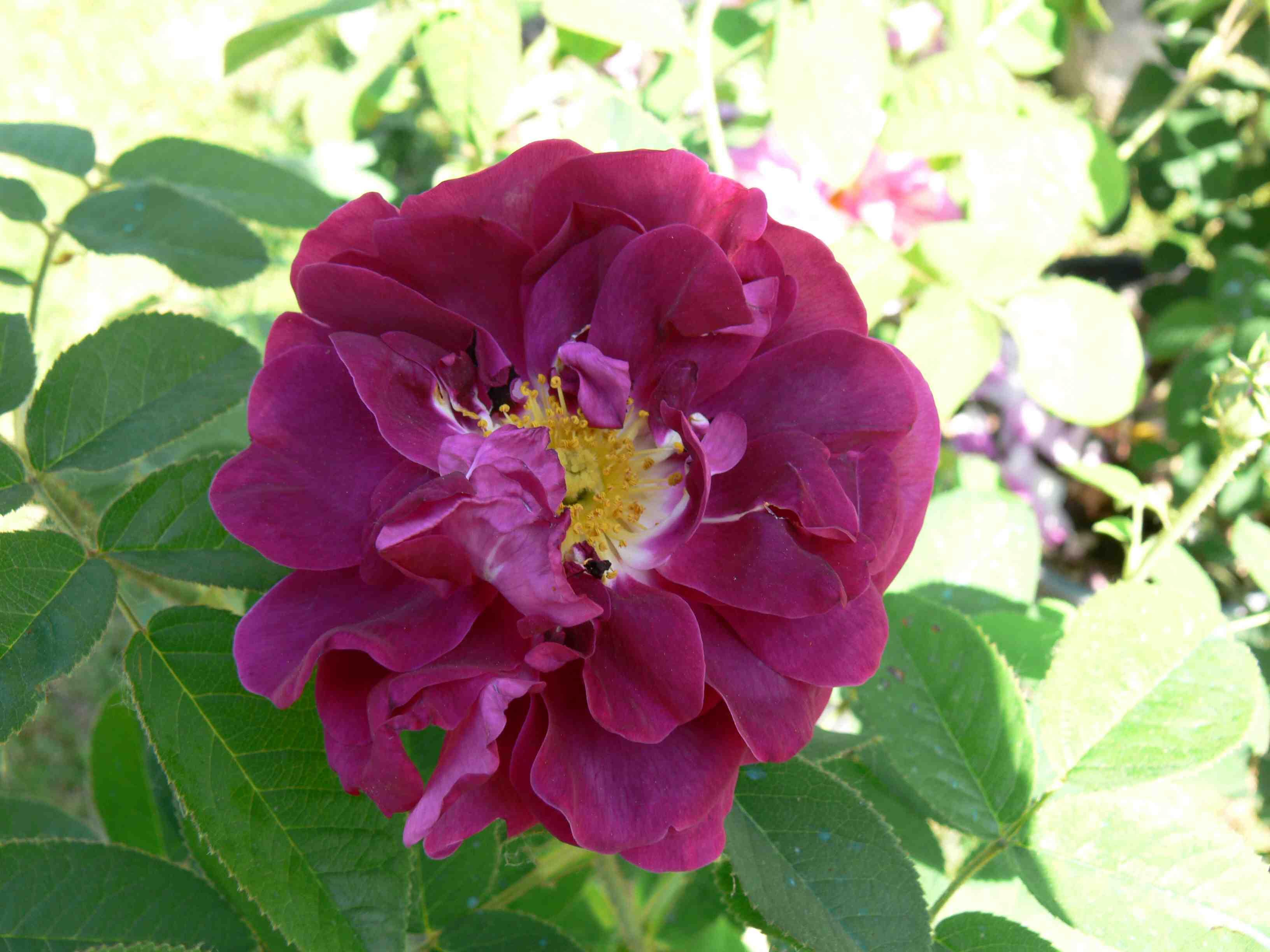 Rose Rampicanti Senza Spine rose per classe - vivaio les collettes