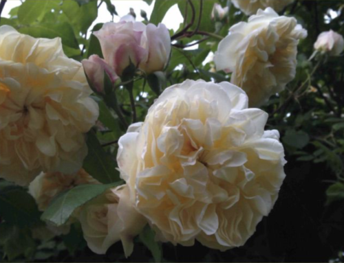 In campagna con le rose